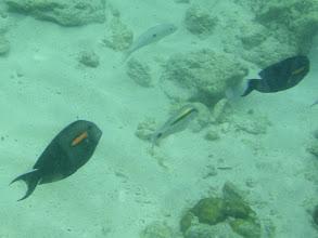 Photo: Acanthurus olivaceus (Orange Shoulder Tang), Siquijor Island, Philippines