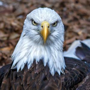 Eagle-3.jpg