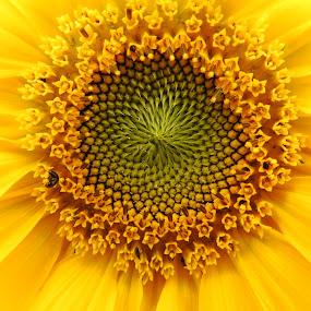Slunečnice by Věra Tudy - Flowers Tree Blossoms