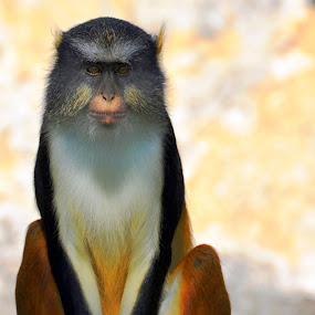 Staring Contest by Emily Vickers - Animals Other Mammals ( mammals, animals, staring, zoo animals, monkey,  )