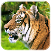 Tiger Live HD Wallpapers