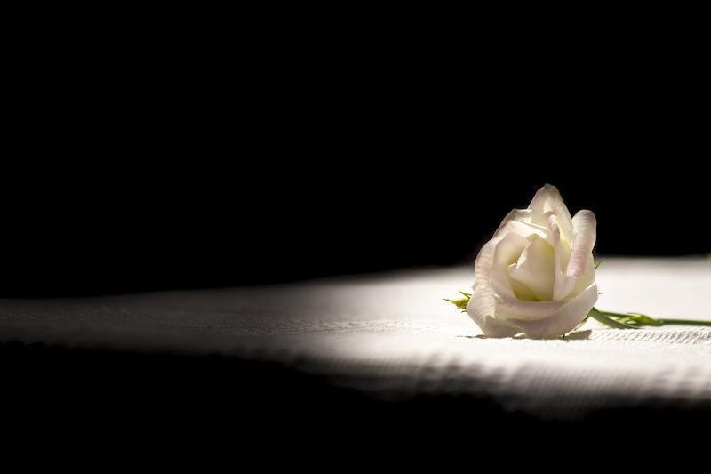 La rosa bianca di Andrea Calò
