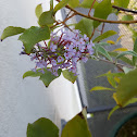 Summer Liliac