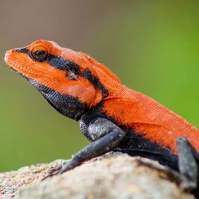 Peninsular Rock Agama by Faizan Hussain - Animals Reptiles ( lizard, background, rock, legs, reptile, eye, colours,  )