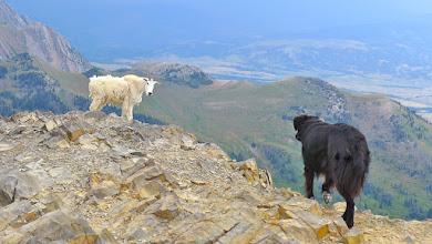 Photo: Dog meets goat.