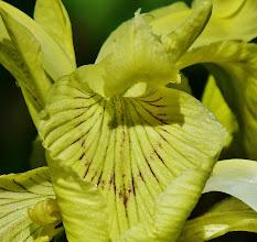 Photo: Sumpfschwertlilie (Iris pseudacorus) 2