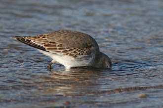 Photo: For #ThirstyThursday curated by +Giuseppe Basile  This Sanderling may not be drinking, but it sure looks refreshing.