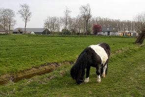 De pony graast onverstoorbaar verder als ik langs wandel