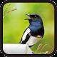 Download Kicau Burung Kacer Hitam Super For PC Windows and Mac