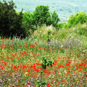 Poppy field by Annie Cator - Landscapes Prairies, Meadows & Fields ( field, meadow, poppies, poppy, flowers,  )