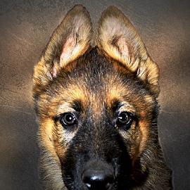 What happen? by Dawn Vance - Digital Art Animals ( german shepherd dog, german shepherd, portrait, animal )