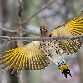 Flicker by Carl Albro - Animals Birds ( flying, landing, flicker, woodpecker, bif,  )