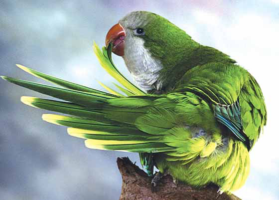 Some communities have banned the Quaker (or monk) parakeet (Myiopsitta monachus) because escapees have established free-ranging breeding colonies even in temperate climates