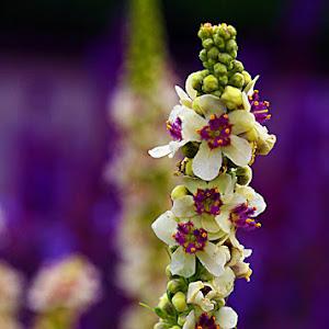 Purple and white flower.jpg