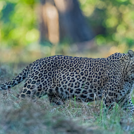 Leopard by Amit Kher - Animals Lions, Tigers & Big Cats ( big cat, spotted, wildlife, feline, leopard, mammal, animal )