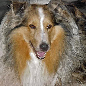 sheltie by Darrin Halstead - Animals - Dogs Portraits ( dog portrait, sheltie,  )