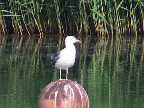 Photo: 17 Jul 13 Priorslee Lake Determined to prove me a liar! Last winter I observed that large gulls on / attacking the buoys were almost always Herring Gulls. Well here is a Lesser Black-back sitting on one. In my defence all I can say is that there were no Herring Gulls around to claim their rights! (Ed Wilson)