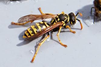 Photo: POLISTES GALLICUS - Polistes française - Guêpe absolument pacifique au contraire des autres, elle peut s'apprivoiser ! Ici sur la coupelle des abeilles - 02.03 -
