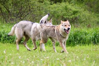 Photo: Rakša se spokojeně směje - smečka vlčáků a ona v ní nejstarší...