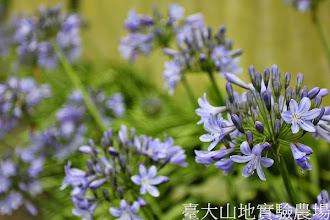 Photo: 拍攝地點: 梅峰-溫帶花卉區 拍攝植物: 百子蓮 拍攝日期:2013_07_04_FY