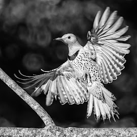 Flicker Landing by Carl Albro - Black & White Animals ( bird, flying, woodpeckers, black and white, northern flicker, bif )