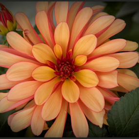 Glorious Dahlia by Janet Gilmour-Baker - Flowers Single Flower ( canada, single flower, beautiful, vancouver island, backyard flowers, beauty, flowers, bc, dahlia,  )