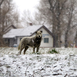 by Vukosava Radenovic - Animals - Dogs Portraits (  )