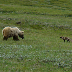 arctic fox and Grizzly stand off by Bryan Gruber - Animals Other Mammals ( arctic fox, alaska, #grizzly,  )