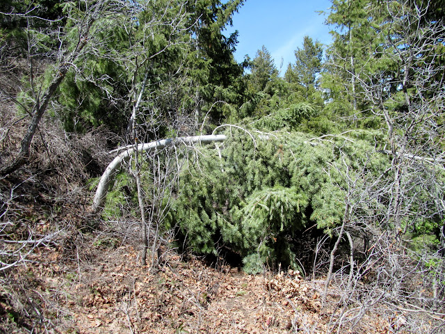 Pine tree bent over the trail