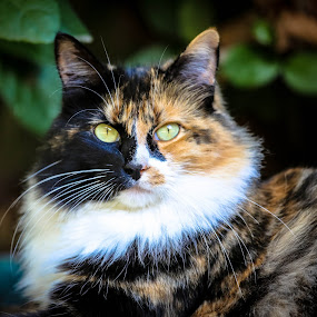 Attitude by Jay Kazen - Animals - Cats Portraits ( love, cats, kitten, nature, pets, wildlife, cute )