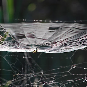 Web Levels by Keith Heinly - Nature Up Close Webs ( wetland, florida, web, spider, morning )