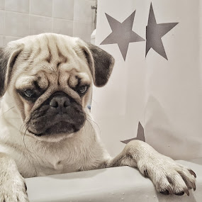 Gary by Andreja Svenšek - Animals - Dogs Portraits ( doggie, star, pugs, checks, fun, cute, portrait, love, doggy, stars, paw, shower, nails, paws, dog, serious,  )