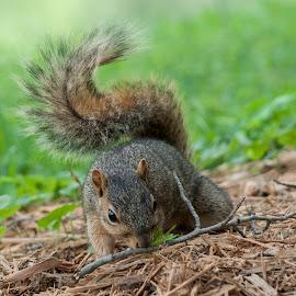 Searching by Anita Frazer - Animals Other Mammals ( squirrel, animal, mammal. )