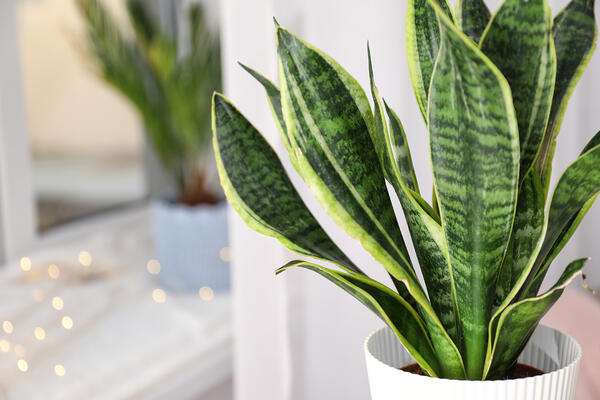 snake plant air quality