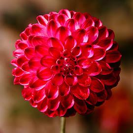 Dalhia n00039 by Gérard CHATENET - Flowers Single Flower