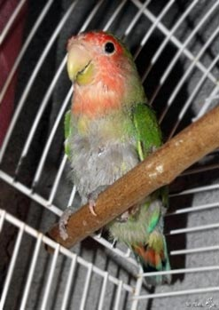 Psittacine Beak and Feather Disease (PBFD) in a lovebird.