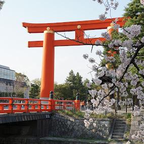 Cherry blossom in Kyoto by Mylene Rizzo - City,  Street & Park  City Parks ( kyoto, kyoto japan, cherry blossoms, tori )