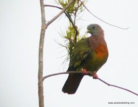 Photo: Pink-necked Green-Pigeon, male, Mantanani Island