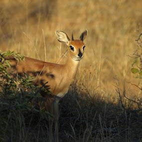 Stenbok by Steen Hovmand Lassen - Animals Other Mammals ( savannah, antelope, bush, stenbok, africa,  )