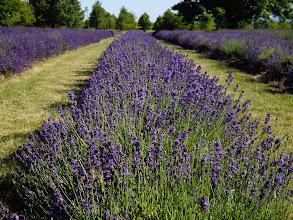 Photo: Grosso lavender  Photo credit Log House Plants