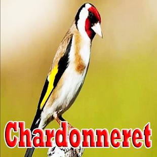 Cantos de chardonneret parva - náhled