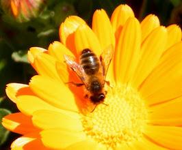 """Photo: Bonjour,     16°, ciel clair et vent N-O.  Abeille """"Andrena jacobi"""" ou """"Andrena sabulosa"""" sur fleur de souci -"""