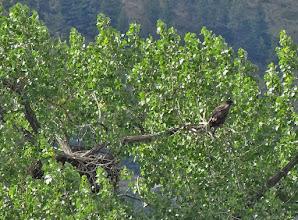 Photo: Juvenile Bald Eagle at nest.