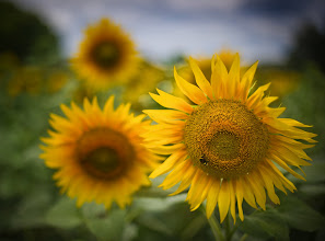 Photo: Wild sunflowers found off the side of the road in the lowlands... like fire, stopped in the air.