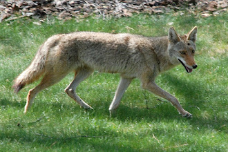 Photo: Coyote passing through our backyard  05/08