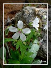 Photo: Géranium blanc, Geranium rivulare