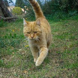 by Antonio Knezevic - Animals - Cats Portraits ( tail, grass, cat )
