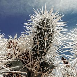 Needles by Richard Michael Lingo - Nature Up Close Trees & Bushes ( needles, nature, closeup, arizona, cactus )