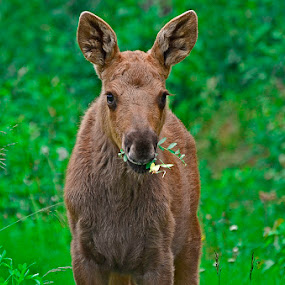Baby Moose by Tina Marie - Animals Other ( soldotna, alaska, moose, wildlife, baby moose,  )