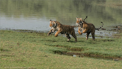 Photo: #tiger #wildlife #india #nature   Tigers on the run!  Playful tigers running on the grass at Ranthambore NP, India.  Thanks to all of my guests, superb shooting we had! I just got back from my 3rd photo tour, what an amazing program... thanks so much to my organizers, and friends in India!  3 Photo tours done since November, and - many more to come.  Please help save nature!  Raymond   #india #tiger  #bengal #indianature  #royalbengal  #wildlife #nature  #ranthambore  #raymondbarlow #naturephotos #animal #animallovers #animalphotography  #nature #phototour  #raymond  #green #nature #naturephotography  #phototours  #wildlife  #travel #adventure  #whatshot  #wildlifephotographers #wildlife  #canadianphotographer